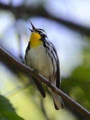 Singing Yellowthroated Warbler (lanaganpm) Tags: