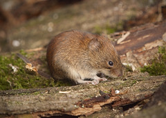 Bank Vole (John (Gio) * OVER 100,000 VIEWS *) Tags: nature closeup mammal kent wildlife olympus gio smallmammal fourthirds bankvole muridae clethrionomysglareolus zuikodigitaled50200mmf2835swd