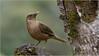 Clay Coloured Robin (Raymond J Barlow) Tags: bird nature robin wildlife adventure workshop raymondbarlowtours