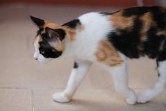 walking (deadoll) Tags: morning pet cats sun sol animal cat canon fur kitten kat kittens gato 7d gata felino kit pur babycat canon7d catnipaddicts