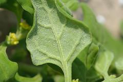 dao-38084 Tetragonia tetragonoides (mutolisp) Tags: plants taiwan places matsu  aizoaceae  beigan tetragoniatetragonoides tetragonia