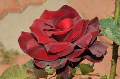 () Tags: rose iso200 rosa  rosarugosa   f32 blacklady 1050mm friendlyflickr nikoncorporation 160secs rosahybrida nikond300s  20120306122858