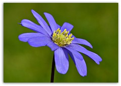 Simply Blue (Eleanor (WHU)) Tags: blue garden anemoneblanda floralfantasy mixedflowers perfectpetals photogarden flowersarebeautiful worldofflowers flickrsawesomeblossoms amazingdetails passionforflowers unforgettableflowers addictedtoflowers flowersonflickr weallloveflowers anaturecanvas coloursinyoureyes flowers4you brigettesbeautifulnaturegallery flowerblossomgroup floraandfaunainthespotlight