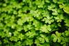 paddy (helen sotiriadis) Tags: macro green closeup canon published dof bokeh depthoffield clover shamrock stpatricksday canonef50mmf14usm canoneos40d dslrmag
