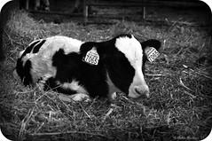 Ik heb nu al oorbellen!! (Ankie Rusticus, I'm not much here) Tags: animals cow farm calf dieren friesland koe kalf boerderij loenga boerderijjellema