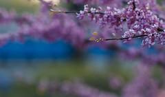 Blossoms above Lake Michigan (Philocycler) Tags: blue light train spring purple bokeh blossoms metra blossomsabovelakemichigan