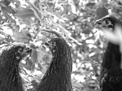 The Chooks (Kaptain Kobold) Tags: blackandwhite pets black chickens birds garden three monthlyscavengerhunt fowl livestock msh chooks australorp kaptainkobold msh0412 msh041219