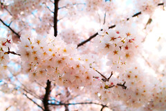 () Cherry Blossoms [Explored] (punipuki) Tags: street city flower nature japan tokyo ginza spring sigma sakura cherryblossoms     floralappreciation dp2s