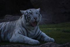 Linmao (Olaya Garcia) Tags: white blanco canon eos tiger canarias lp tenerife canary tigris tigre whitetiger loroparque panthera tigreblanco pantheratigristigris 1000d