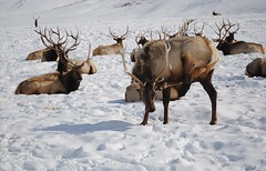 Can you do this with your leg? (Julia R2012) Tags: winter snow cold animal nationalpark stag hole jackson deer yellowstone elk deers jacksonhole refuge nationalparkrefuse