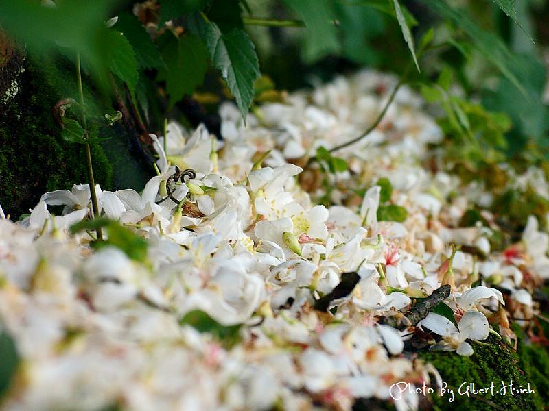 【油桐花】桃園龜山.楓樹村(遇見鄉間小路的油桐花)