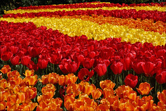 Keukenhof Tulip Garden (Foto Martien (thanks for over 2.000.000 views)) Tags: flower holland color colour netherlands dutch bulb season spring colorfull sony nederland daffodil tulip bloom bol lente coloured geotag hyacinth tulipfield narcis tulipa niederlande narcissus keukenhof tulipe daffodill kleurrijk tulpe bloem a77 flowergarden grapehyacinth tulp kleuren polychrome hyacint voorjaar geotagging bont tulpenveld veelkleurig kleurig lle tulpenfeld cultivatedflower blauwedruifje provinciezuidholland gardenofeurope duneandbulbregion campodetulipanes provinceofsouthholland martienuiterweerd carlzeisssony1680 champdetulipes duinenbollenstreek bestcapturesaoi martienarnhem symbolofholland symbolofthenetherlands martienholland fotomartien tulpenakker campoditulipano lalealan gecultiveerdebloem botanischetulp gekweektetulp sonyslta77v sonyalpha77 geotaggedwithgps southofhaarlem southwestofamsterdam smalltownlisse