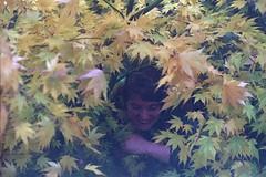 Ceilidh (dichohecho) Tags: trees film leaves yellow analog japanesemaple acer analogue pentaxmesuper fujisuperia400 westonbirtarboretum ubuphotosoc roll59 dichohecho
