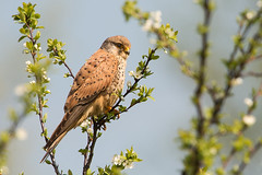 WVV_6149 Explored 04-29-2013 (naturepics by W.v.V.) Tags: falcotinnunculus torenvalk commonkestrel turmfalke