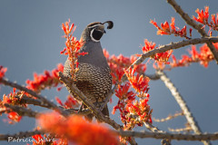 California Quail Ensconced in Ocotillo Blossoms (Patricia Ware) Tags: californiaquail callipeplacalifornica california vallecito backyard anzaborregodesertstatepark fouquieriasplendens ocotillo canon handheld ©patriciaware ©allrightsreserved specanimal ngc blinkagain specanimalphotooftheday