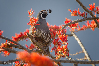 California Quail Ensconced in Ocotillo Blossoms