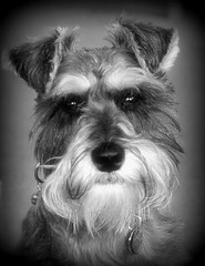 miniature schnauzer (Lock 62) Tags: lens pentax 3570mm a k110d