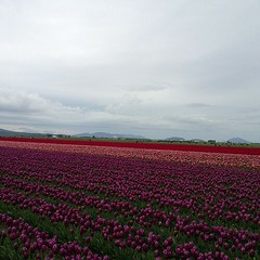 Skagit Valley tulip fields (pbeppler) Tags: square squareformat iphoneography instagramapp uploaded:by=instagram