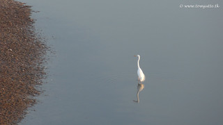 White Heron, Zutphen, Netherlands - 1247