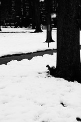 Spring awakening in Boston Common (RDoloresS) Tags: snow boston blackwhite massachusetts common squirel
