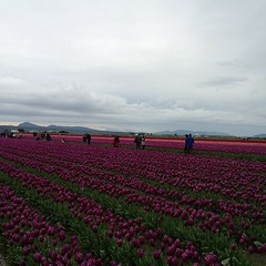 Skagit Valley tulip fields (Washington state) (pbeppler) Tags: square squareformat iphoneography instagramapp uploaded:by=instagram