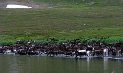 reindeer drinking sea water at natalia bay (Kamchatka) 4 (Russell Scott Images) Tags: reindeer russia arctic caribou kamchatka rangifertarandus olyutorskyregion nataliabay