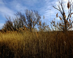 Tall Grasses (astoria4u) Tags: new york great swamp palling
