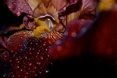 """... dettagli ("""" paolo ammannati """") Tags: iris primavera me photographer top natura ombre io fiori acqua petali colori pioggia gocce chiusidellaverna fioritura paoloammannati complimenti goccioline effettinaturali"""