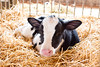 Day-Old Calf (sarahnorsworthy) Tags: baby ontario canada cute love youth barn pen easter fur nose cow spring sweet farm birth young adorable breeding newborn farmer dairy littleone calf milking holstein veterinary heifer handraised bottlefed artificialinsemination tiestall