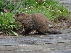 Cute woodchuck pup browsing foliage (thepiper351) Tags: baby cute mammal cub rodent spring squirrel wildlife maine woodchuck groundhog kit marmota monax