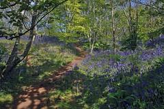 Mottistone Bluebells (keithjherbert) Tags: nature bluebells canon isleofwight brighstone mottistone eos500d