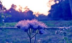 Common Wild Flower of Bangladesh - Macro (samim_hasan) Tags: sunset shadow sun black flower macro nature beautiful beauty mobile night forest leaf phone natural sunny smartphone dhaka bangladesh hdr feni htc parshuram