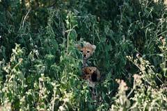 Peekaboo (Usha Harish) Tags: africa travel portrait nature canon tanzania wildlife adventure cheetah predator nationalgeographic nationalgeographicwildlife