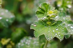 Wet leaves (Wenninger Johannes) Tags: macro linz photography austria sterreich foto fotografie makro macrophoto macrophotography makrofoto makrofotografie justleaves macromondays