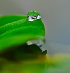 Not just a drop of water 不只是一滴水 ... (青蛙 Frog) Tags: lotus 莲花 lotusmyneighboursgarden 邻居的莲花园