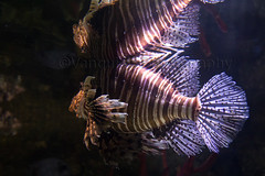 Lionfish London Aquairum (Vanquish-Photography) Tags: london canon photography eos ryan aviation railway taylor 7d lionfish ryantaylor vanquish aquairum vanquishphotography