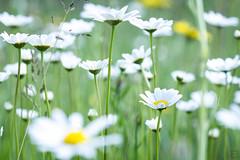(Emilien Gass) Tags: flower macro green grass canon garden spring eschscholziacalifornica 100mmf28 550d
