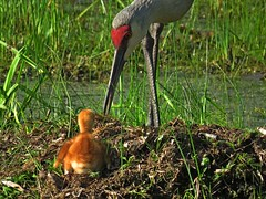 Sandhill Cranes (Photos by the Swamper) Tags: cranes sandhillcranes wadingbirds