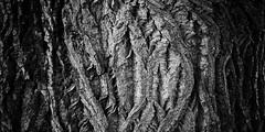 female bark 4116 (s.alt) Tags: bw black detail texture nature female blackwhite pattern surface structure sw schwarzweiss rinde purity oberflche borke natureunveiled baumtreewoodsbark