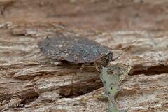 Blattodea_MG_9113 copy (Kurt (orionmystery.blogspot.com)) Tags: borneo roach sabah cockroach knp blattodea