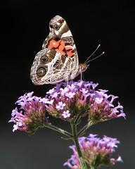 American lady (Vicki's Nature) Tags: yard canon butterfly georgia purple spots s5 americanlady 0432 vickisnature tallverbena
