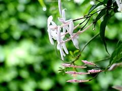 Jazmín (camus agp) Tags: flores lluvia jazmin