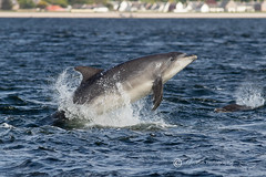 Charlie the Bottlenose Dolphin (cjdolfin) Tags: blue sea nature mammal scotland jump alba dolphin wildlife mother scottish charlie highland marinemammal blackisle morayfirth breach cetacean bottlenosedolphin tursiopstruncatus fortrose rossshire chanonrypoint cjdolfin odontocete
