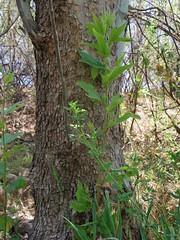 My favorite Sycamore tree (EllenJo) Tags: arizona river pentax tube raft verderiver riparian sundayafternoon june5 clarkdale 2016 ellenjo summerinarizona ellenjoroberts tuzigootbridge tuzirap pentaxqs1 cruisingdowntheriveronasundayafternoon