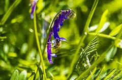 Equilibrios en las flores.... (Javier Arcilla) Tags: abejas naturaleza flores insectos primavera pentax colores k50 pentax55200mm pentaxk50