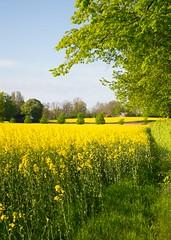 The rare scent of rapeseed (yellowgreywolf) Tags: field yellow spring scent rapeseed yellowgreywolf marvelof