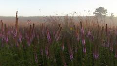 Heavy Mist (mastodont) Tags: mist sunrise august prairie kame bigbluestem liatrispycnostachya andropogongerardii omot coreopsistripteris prairieblazingstar cookcountyforestpreserves illinoisnaturepreserve poplarcreekprairie shoefactoryroadprairie dpphdrtool tallcoreopis