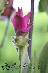 Fiore di curcuma (Shanti Mari) Tags: pink flower green nature garden purple spice natura exotic spices colored fiori curcuma turmeric fiore giardino spezia allaperto profonditàdicampo esotico esotiche
