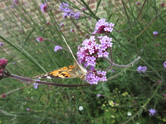 168:365, 2016, Resting butterfly IMG_9102 (tomylees) Tags: june project butterfly 365 16th thursday essex paintedlady braintree 2016
