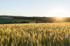 Morning (Pavol Kopinec) Tags: morning light nature field sunrise landscape warm wheat joy hills easy happines litava